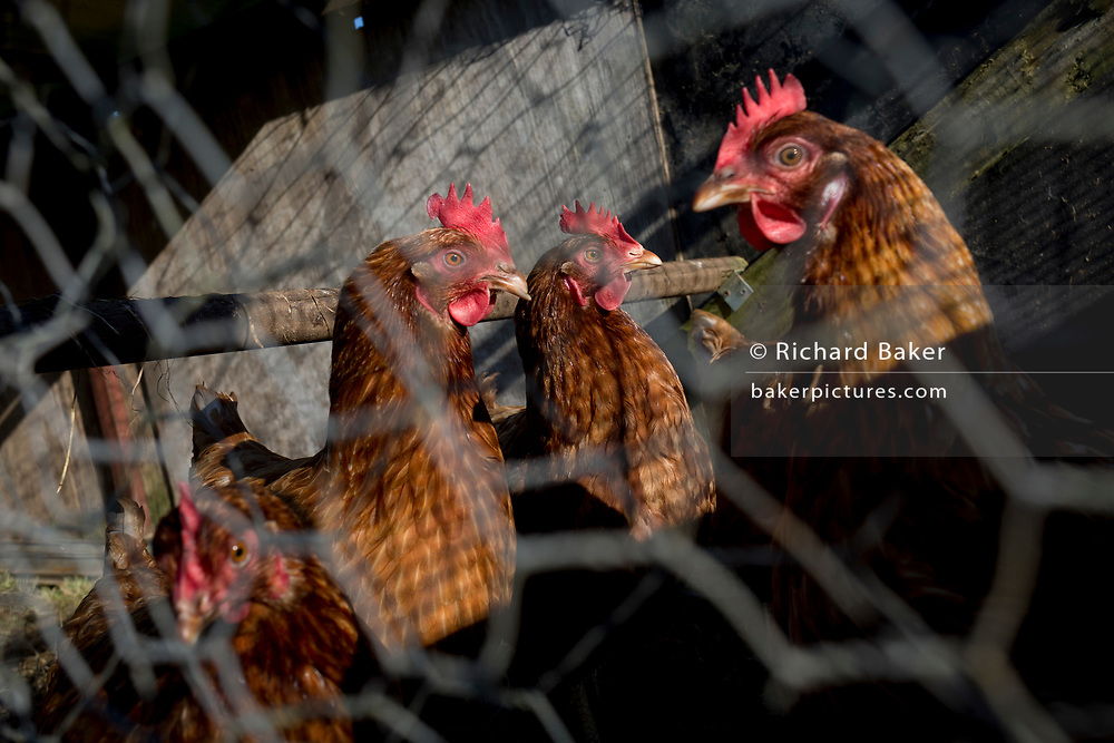 Healthy hens kept behind chicken wire on a rural smallholding on 22nd April 2017, in Wrington, North Somerset, England.
