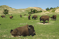 Herd of American Bison, Theodore Rossevelt National Park, North Dakota