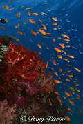 goldies, or lyretail anthias, Pseudanthias squamipinnis, swarm over coral bommie covered with soft corals, Dendronephthya sp., Beqa Lagoon, Viti Levu, Fiji ( Pacific Ocean )