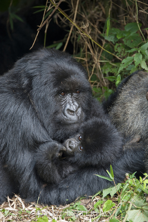 Mountain Gorilla<br /> Gorilla gorilla beringei<br /> Mother and 1.5 year old baby<br /> Parc National des Volcans, Rwanda<br /> *Endangered species