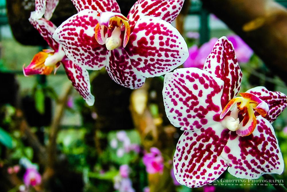 Indonesia, Java, Bogor. Orchid in the Bogor Botanical Gardens (Kebun Raya).