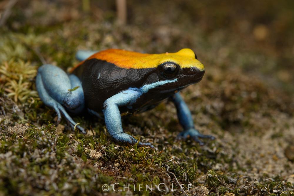 Blue-legged Mantella (Mantella expectata), found only from a few locations in Madagascar's arid southwest. Isalo National Park, Madagascar.