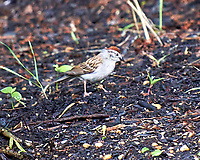 Chipping Sparrow. Image taken with a Leica T camera and 55-135 mm lens.