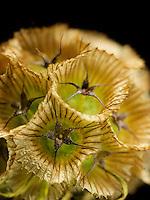 Scabiosa Seed Pod