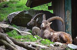 THEMENBILD - Alpen Steinböcke (Capra ibex) im Wildpark Ferleiten, aufgenommen am 29. April 2018 in Taxenbacher-Fusch, Österreich // Alpine ibex at the Wildlife Park, Taxenbacher-Fusch, Austria on 2018/04/29. EXPA Pictures © 2018, PhotoCredit: EXPA/ Stefanie Oberhauser