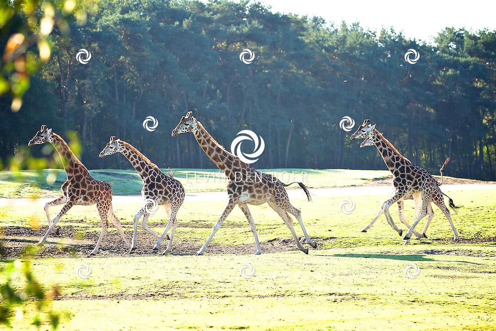 HILVARENBEEK - Op zaterdag 15 oktober opent Safaripark Beekse Bergen een nieuw giraffenverblijf voor haar veertien giraffen waaronder een veulen.  Met op de foto de Giraffen van de Beekse Bergen. FOTO LEVIN DEN BOER - PERSFOTO.NU