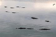American Crocodiles (Crocodylus acutus)<br /> San Pedro<br /> Ambergris Caye<br /> Belize<br /> Central America<br /> RANGE: Americas