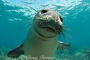 Hawaiian monk seal, Neomonachus schauinslandi (formerly Monachus schauinslandi ), Critically Endangered, endemic to Hawaiian Islands, young male, Honaunau, Kona, Hawaii ( Big Island ), United States ( Central Pacific Ocean )
