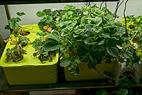 Hydroponic Tub 05-06. Strawberry Plants (85 days). Image taken with a Leica TL-2 camera and 35 mm f/1.4 lens (ISO 250, 35 mm, f/8, 1/50 sec).