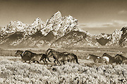 A small herd of horses on the trail back to the corrals in Grand Teton National Park.