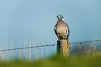 21.04.2009<br /> Woodpigeon (Columba palumbus) örvös galamb<br /> Hallig Hooge, Germany