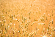 I photographed this beautiful wheat growing at Ayers Creek farm in Gaston, Oregon yesterday. The next few photos will document a process that creates frikeh (freekeh), a cereal made from green wheat (meaning fresh) that is roasted and smoked to create a unique flavor.