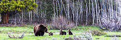 Grizzly 399 and her four qubs appear to be getting a talking to from mom.<br /> <br /> This is a 1X3 ratio crop, can be switched to 1X2 or 4X6 (normal) <br /> <br /> Contact for custom print options or inquiries about stock usage  - dh@theholepicture.com<br /> <br /> Contact for custom print options or inquiries about stock usage  - dh@theholepicture.com