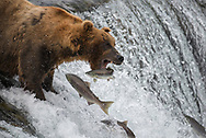 Bear 775 Lefty catches a fish while standing on the lip of Brooks Falls in Katmai National Park.