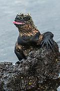 Marine Iguana (Amblyrhynchus cristatus) <br /> Fernandina Island<br /> Galapagos<br /> Ecuador, South America<br /> ENDEMIC TO THE ISLANDS