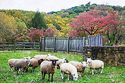 Sheep in an autumn meadow in front of Bowman's Tower Hill, New Hope, Pennsylvania, USA