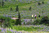 3 adult hikers navigate the trails around Tipsoo Lake's wildflower display in Mount Rainier National Park, Washington State, USA.