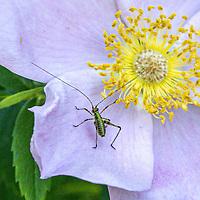 A Mediterranean Katydid on probably a Carolina Rose in Central Park