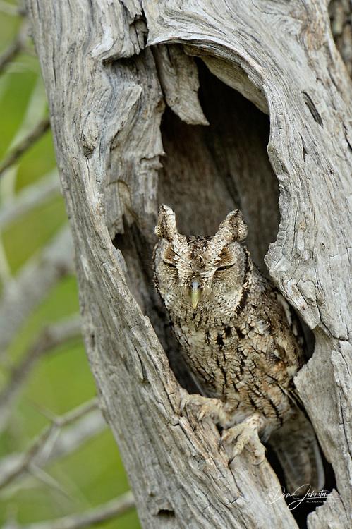 Eastern Screech-Owl (Megascops asio) Adult in a nest cavity, Rio Grande City, Texas, USA