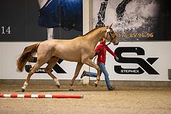 001, Salvador van de Hemel<br /> BWP Hengstenkeuring 2021<br /> © Hippo Foto - Dirk Caremans<br />  11/01/2021