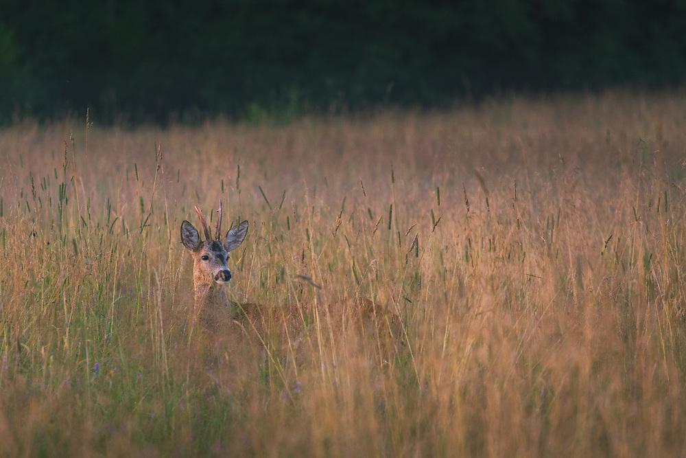 A roe deer (Capreolus capreolus) buck looking for doe in summer meadow late at evening, Vidzeme, Latvia Ⓒ Davis Ulands | davisulands.com