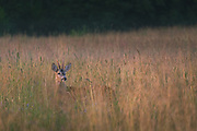 A roe deer (Capreolus capreolus) buck looking for doe in summer meadow late at evening, Vidzeme, Latvia Ⓒ Davis Ulands | davisulands.com