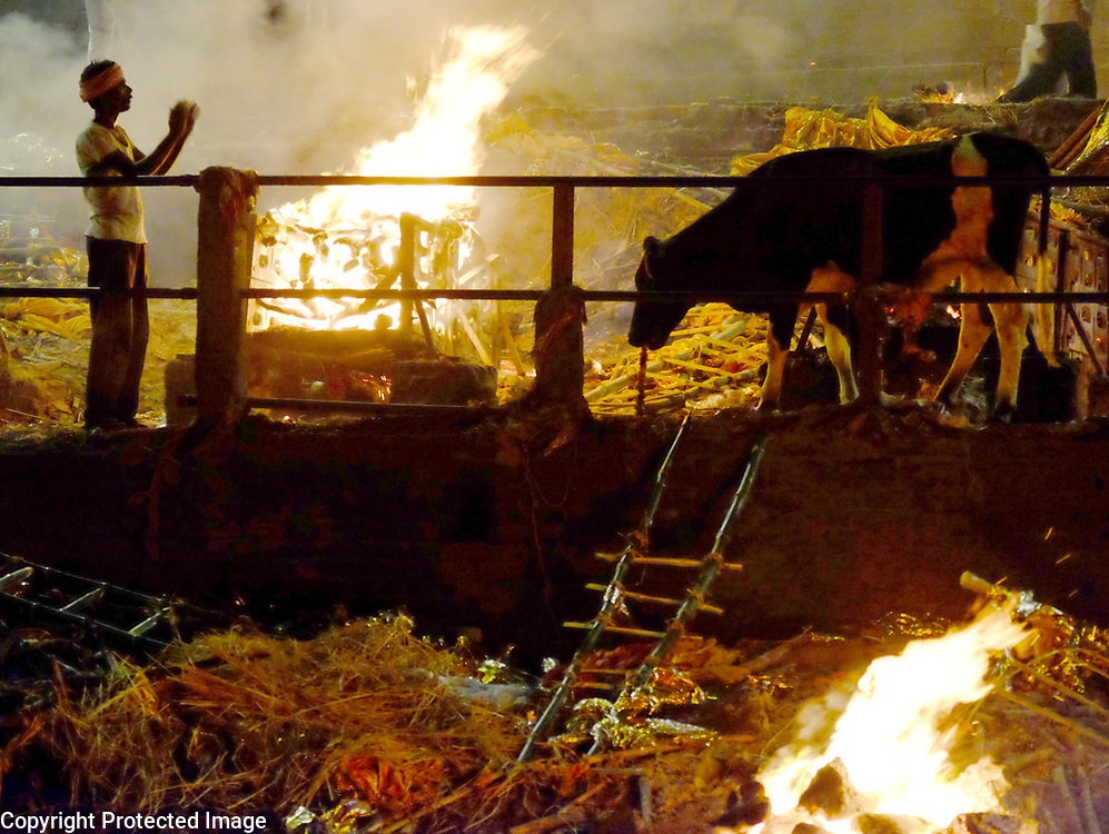 A fire tender give a reverential welcome to a cow that wandered into the cremation ghats along the Ganges River in Varanasi, India.<br /> Photo by Shmuel Thaler <br /> shmuel_thaler@yahoo.com www.shmuelthaler.com