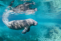 A manatee swims over a warm spring outflow. Manatees frequently move around these natural warm-water sources to show their calves around, find warmer spots or leave when the tide is retreating. This is a recent image from March 2018. Florida manatee, Trichechus manatus latirostris, a subspecies of the West Indian manatee, endangered. Three Sisters Springs, Crystal River National Wildlife Refuge, Kings Bay, Crystal River, Citrus County, Florida USA. IUCN Red List: Endangered. USFWS implemented downlisting to Threatened 2017: http://www.iucnredlist.org/details/22106/0. Taken under USFWS SUP Permit
