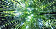 Bamboo Forest, Pipiwai Trail, Hakeakala National Park, Kipahulu, Hana Road, Maui, Hawaii