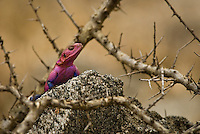 A colourful Mwanza Flat-headed Agama in the Serengeti National Park, Tanzania