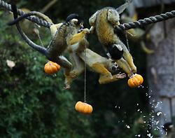 Squirrel monkeys search for Halloween treats hidden inside a pumpkin at ZSL London Zoo.