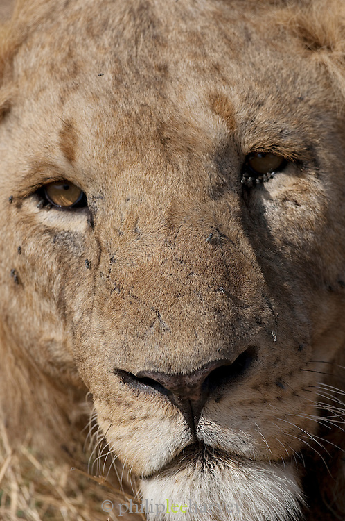 Male Lion, Amboseli National Park, Kenya