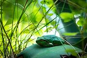 Rainette méridionale,, grenouille verte, Hyla meridionalis, Mediterranean tree frog,