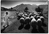 CHOMAN, KURDISTAN, IRAQ, OCTOBER 1993. A shepherd herds his sheep through the minefields of Choman Valley.  Millions of landmines and unexploded ordonance litter the former frontline in the Iran vs Iraq War still killing and maim ing Kurdish people on a daily basis.©Photo by Frits Meyst/NewsImages