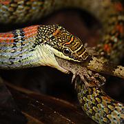 feeding on a Yoshi's Bent-toed Gecko in Danum Valley, Sabah (Borneo)