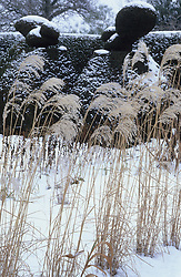 Winter in the Peacock Garden at Great Dixter with Miscanthus sinensis 'Silver Feather'