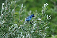 Indigo Bunting looking around while perched on a branch in some bushes.