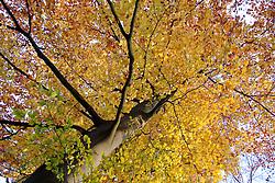 Boomkroon, boomkronen, Tree tops Herfstblad, Autumn leave