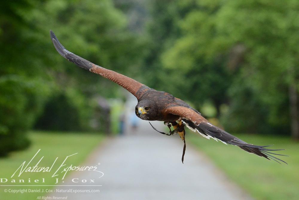 Harris hawk, part of the falconry program at Ashford Castle, Ireland.