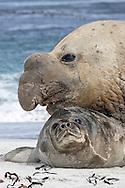 Southern Elephant Seal bull - Mirounga leonina - with captured pup