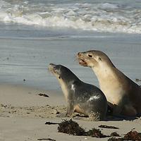 Australian Sea-lions