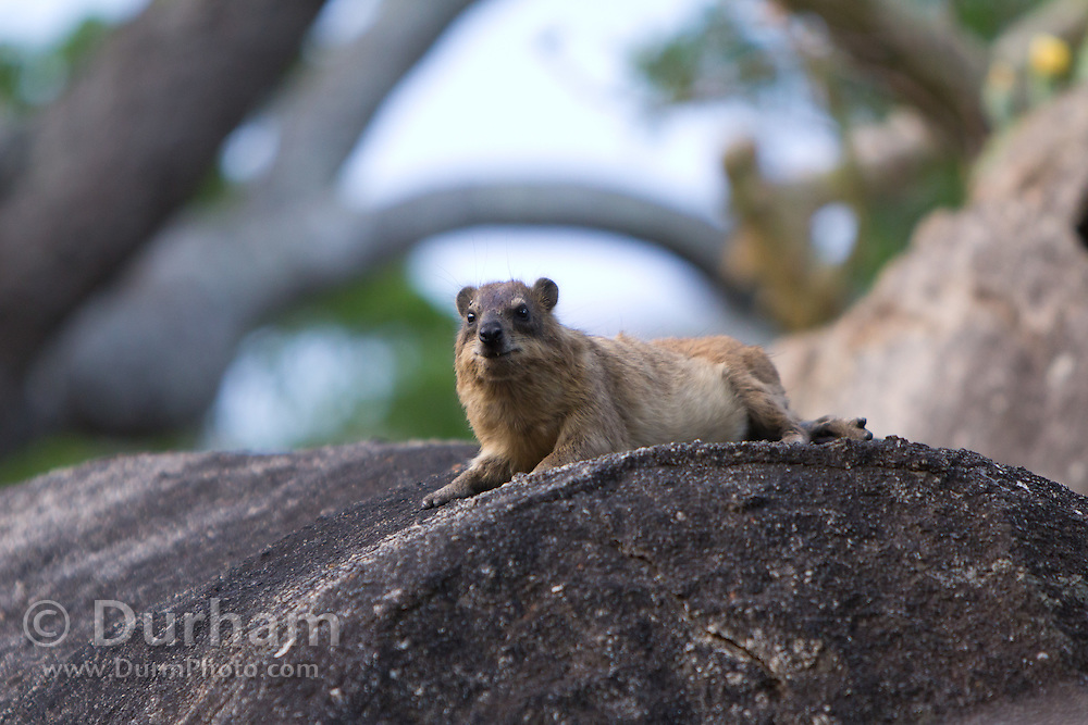 Rock Hyrax (Procavia capensis) in Matobo National Park, part of the Motopos Hills area in Zimbabwe. The park is an U.N. UNESCO World Hertiage Site. © Michael Durham / www.DurmPhoto.com