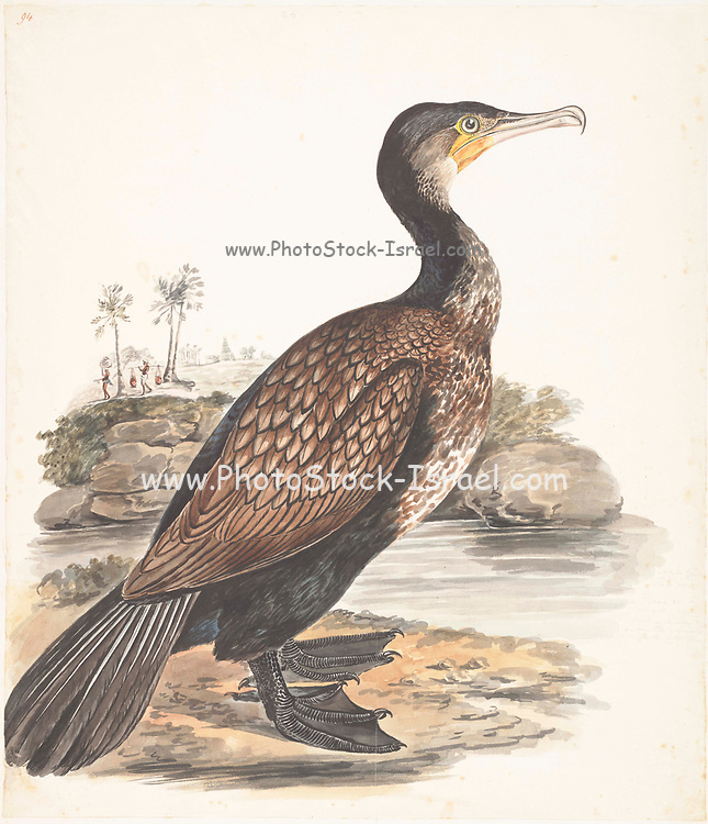 The Indian cormorant or Indian shag (Phalacrocorax fuscicollis) is a member of the cormorant family. It is found mainly along the inland waters of the Indian Subcontinent but extending west to Sind and east to Thailand and Cambodia. It is a gregarious species that can be easily distinguished from the similar sized little cormorant by its blue eye, small head with a sloping forehead and a long narrow bill ending in a hooked tip. 18th century watercolor painting by Elizabeth Gwillim. Lady Elizabeth Symonds Gwillim (21 April 1763 – 21 December 1807) was an artist married to Sir Henry Gwillim, Puisne Judge at the Madras high court until 1808. Lady Gwillim painted a series of about 200 watercolours of Indian birds. Produced about 20 years before John James Audubon, her work has been acclaimed for its accuracy and natural postures as they were drawn from observations of the birds in life. She also painted fishes and flowers. McGill University Library and Archives