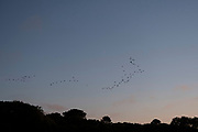 Little Egrets, birds flying in to roost at sunset along the tidal Goyen River on 24th September 2021 in Pont Croix, Brittany, France. Brittany is a peninsula, historical county, and cultural area in the west of France, covering the western part of what was known as Armorica during the period of Roman occupation. It became an independent kingdom and then a duchy before being united with the Kingdom of France in 1532 as a province governed as a separate nation under the crown.