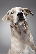 """EXCLUSIVE<br /> How A Dog Shelter Became A Talent Agency<br /> <br /> <br /> In general, people tend to have a negative opinion about dog shelters, for various reasons. When it comes to getting a dog, they usually prefer a purebred breeder or a pet store instead of adopting one. This leads to overcrowded shelters, which are constantly fighting for funding.<br /> Knowing they can't rely on people's voluntary donations alone, K9Friends decided to let their most important assets earn these donations in style, by starring in commercials. The Dubai-based dog shelter became a canine talent agency, where each dog available for casting has its own professional look book, Andrei Daniluc from the shelter said  """"So far they have been picked for print ads. They appeared in Viva Magazine, posed for Freedom Pizza posters, Pets Delight dog food, etc. But the campaign aimed to bring visibility to the shelter. You can foster a dog for a couple of weeks, take it for the weekend so they are like a part time companion you can benefit from in exchange for a donation. People can also adopt, of course, which was our ultimate goal :) So most of these dogs are already part of loving families.""""<br /> <br /> Photo shows: Maverick<br /> DATE OF BIRTH: MAY 2014<br /> GENDER:MALE<br /> SIZE:MEDIUM<br /> ©K9 Friends/Saatchi&Saatchi/Exclusivepix Media"""