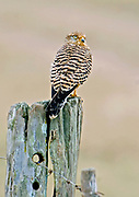 Greater Kestrel (Falco rupicoloides) from Solio Ranch, Kenya.