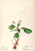 """Sketchbook No. 12 - Water-color sketches of plants of North America and Europe [graphic], Painted between June 1888 to September 1910 by Helen Sharp. Eighteen albums of water-color sketches by Helen Sharp of flowering plants and shrubs common to the United States, especially New England, as well as to Bermuda and parts of Europe, dated between June 1888 and Sept. 1910. Sketches in water-color and ink on paper (26 x 18 cm. or smaller) include botanical captions in Latin, along with Sharp""""s notes on the common name and physical characteristics of each plant, and location and date of drawing. There is also a table of contents at the front of each sketchbook. The first 16 albums contain sketches of plants common in New England, in towns of Massachusetts such as Nantucket, Taunton, Boston, No. Andover, Marblehead, Hingham, Gloucester; Maine (York, Sorrento); New Hampshire (Surrey), and Connecticut. Volume 17 contains sketches of plants made by the artist while traveling in Switzerland, Italy, England, and France, while v. 18 contains sketches of tropical fruits and flowers of Bermuda, completed during Sharp""""s visits of 1892, 1893, and 1903."""