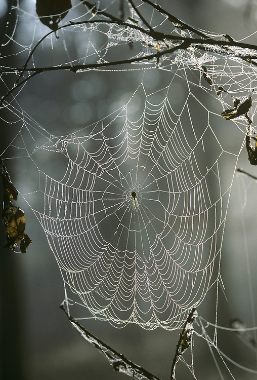 Orb Spider's web