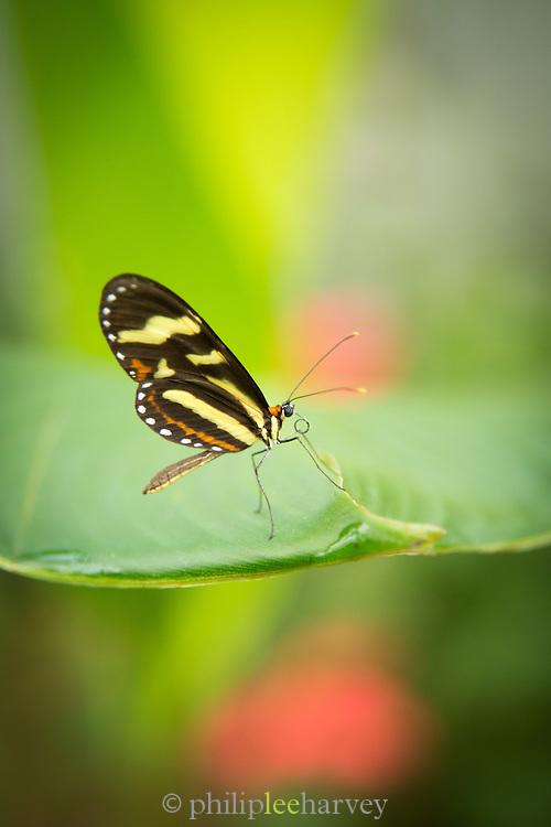 Close-up of Heliconius Butterfly Species (Captive) Mashpi reserve, Ecuador, South America