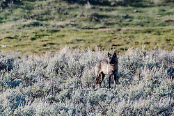 A dark grey wolf of the Slough Creek Pack roaming Yellowstone National Park